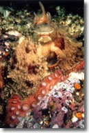 Giant Pacific Octopus!